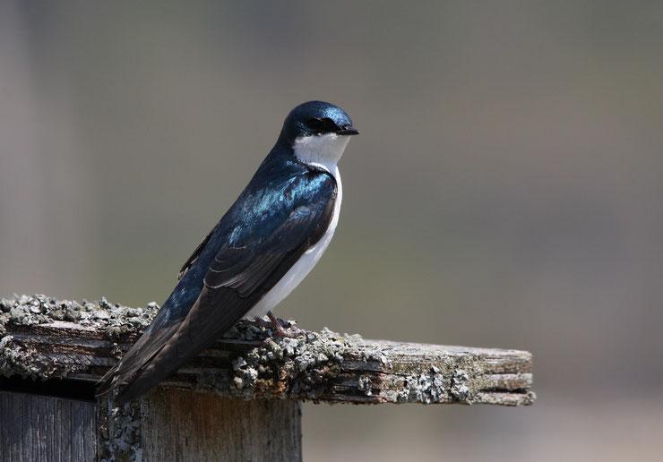 hirondelle bicolore fiche oiseaux animaux