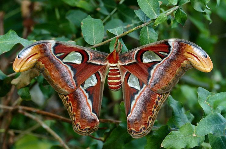 atlas plus grand papillon du monde habitat taille poids repartition fiche animaux insectes