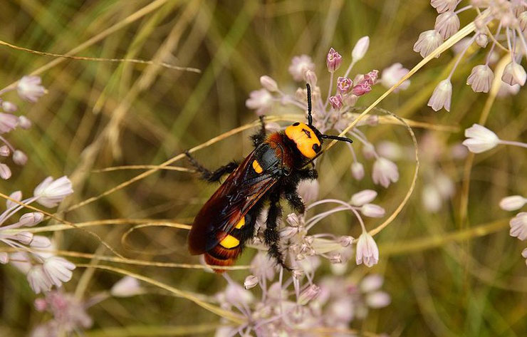 scolie des jardins fiche insecte animaux mammoth wasp facts insect