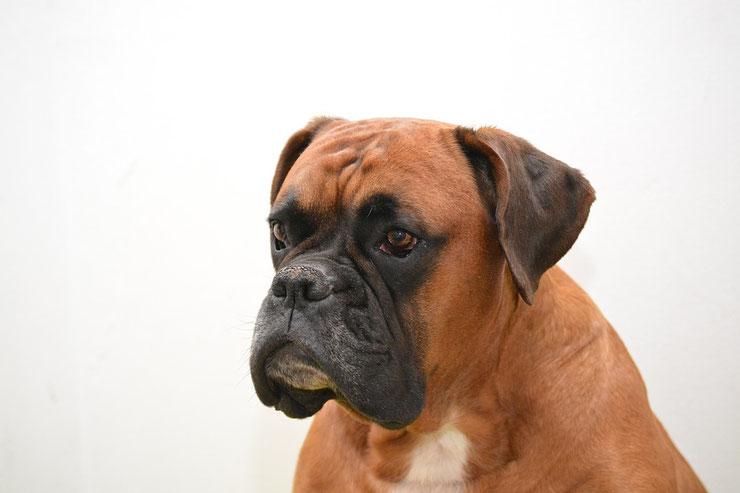 boxer fiche chien animaux caractere comportement origine poil couleur