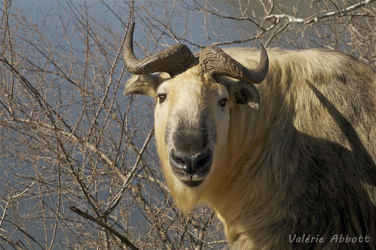 liste des animaux du tibet takin