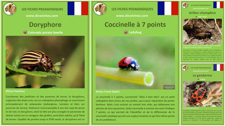 fiches animaux insectes pdf a telecharger et à imprimer pour l'ecole ou la maison  animals fact coccinelle doryphore grillon gendarme ladybug colorado potato beetle