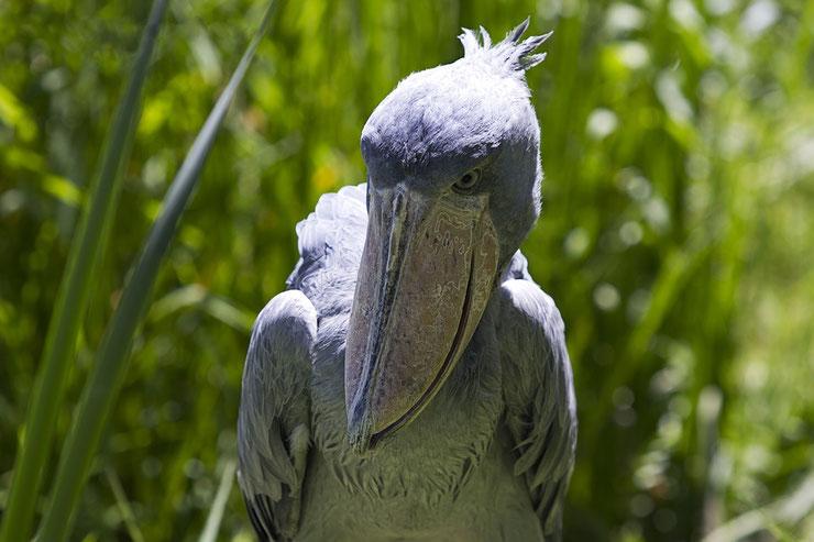 fiche animaux bec en sabot oiseaux afrique