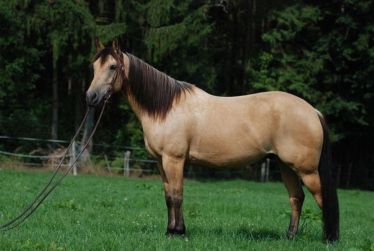 cheval quarter horse fiche chevaux comportement origine caractere race