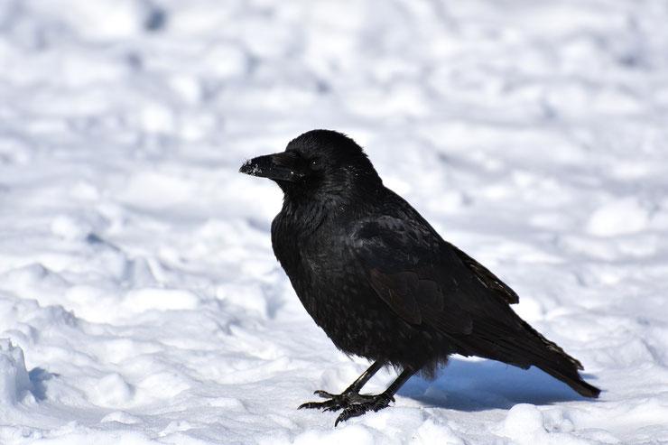 corbeau corneille dans la neige noir et blanc