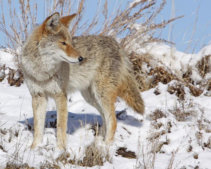 coyote fiche animaux