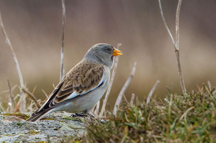 niverolle alpine fiche oiseaux animaux