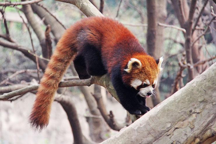 liste des animaux du tibet panda roux ou petit panda