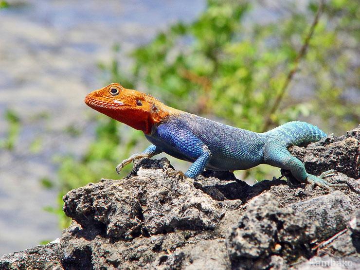 fiche reptile animaux agame des colons poids taille habitat distribution longevite alimentation