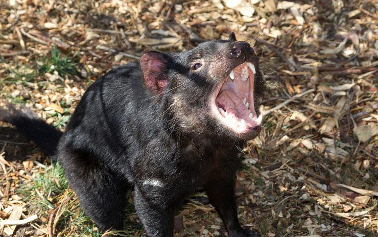 animaux noirs diable de tasmanie australie thematique
