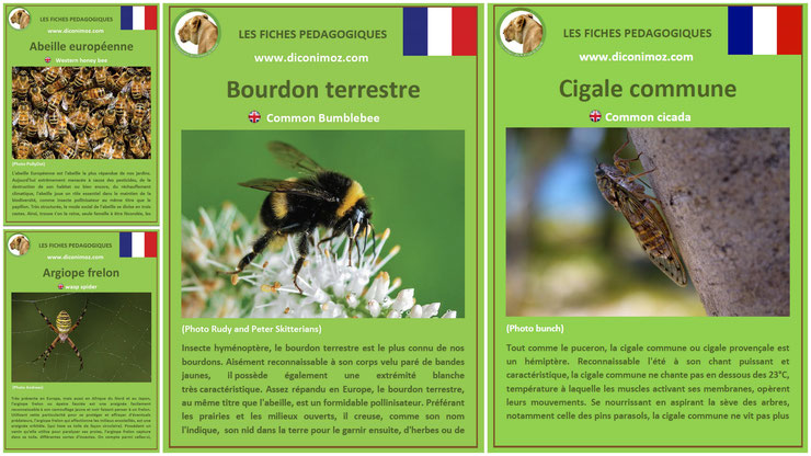 fiches animaux insectes pdf a telecharger et à imprimer pour l'ecole ou la maison  animals fact abeille europeenne bourdon terrestre cigale commune argiope frelon araignée