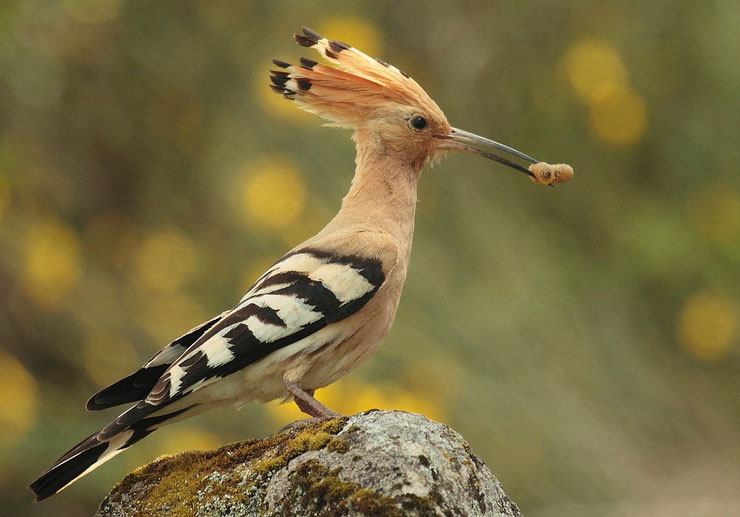 fiche animaux oiseaux huppe fasciee comportement taille poids reproduction alimentation