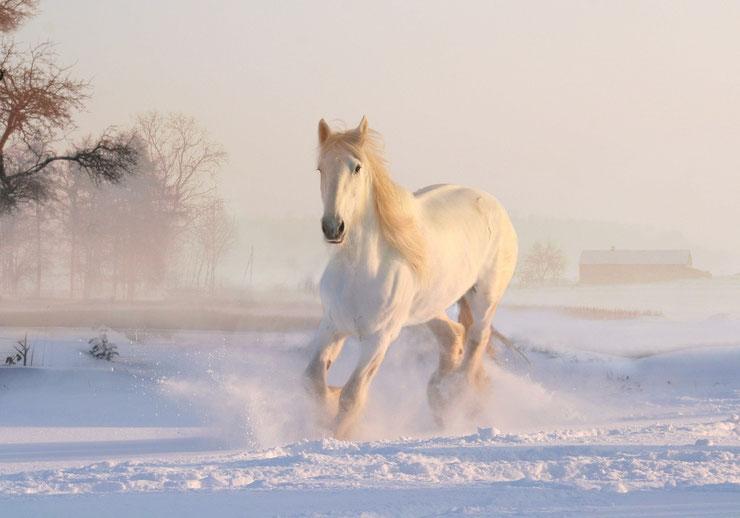 cheval sauvage blanc dans la neige  snow white horse