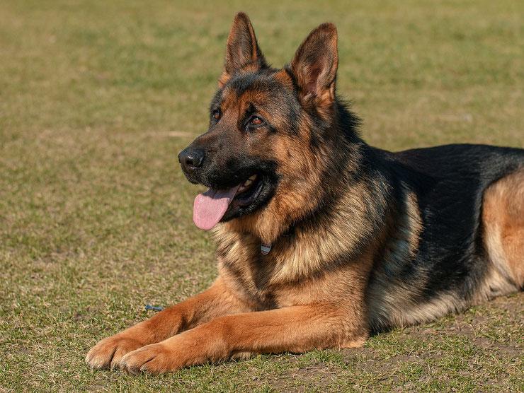 berger allemand german shepherd dog fiche race chien animaux caractere comportement origine poil couleur