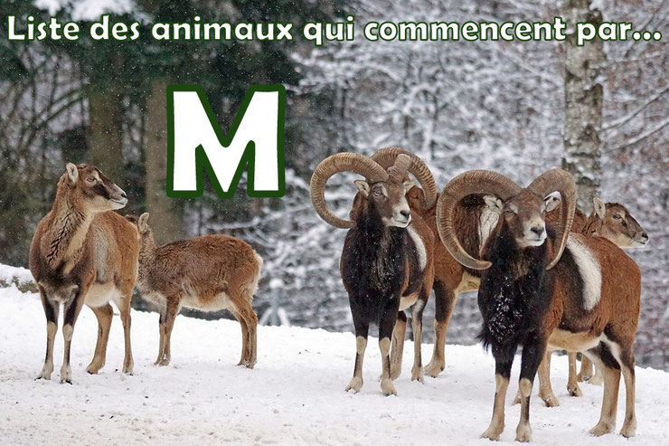 liste des animaux qui commencent par la lettre M