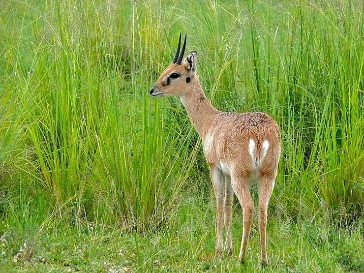 ourebi fiche animaux sauvages d'afrique antilope bovides habitat repartition poids taille longevite