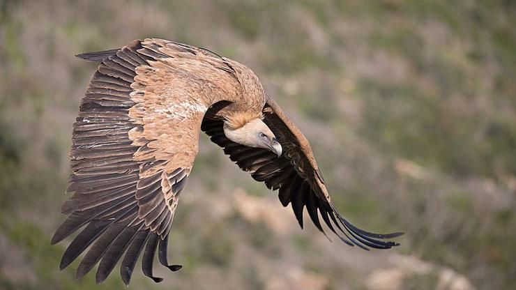 vautour fauve fiche animaux oiseaux animal facts bird griffon vulture