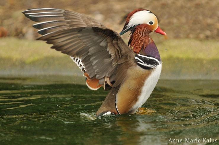 Fiche canard mandarin oiseaux animaux