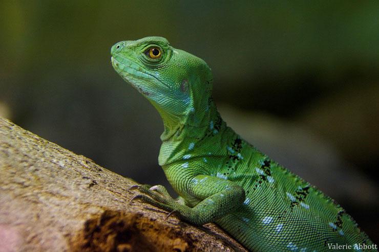basilic vert fiche animaux reptile lezart jesus animal fact plumed basilisc