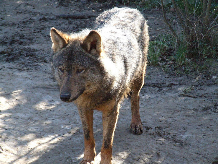 loup iberique fiche animaux espagnol canides animal fact iberian wolf