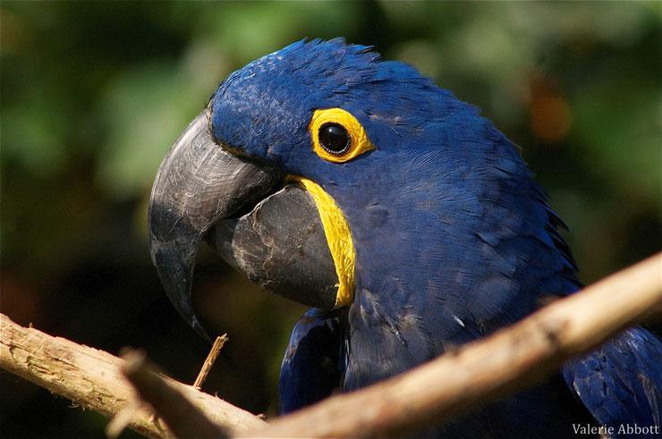 ara hyacinthe fiche oiseaux animaux animal fact bird hyacinth macaw