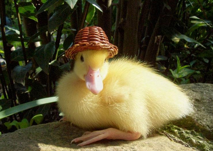 animaux célèbre saturnin le canard