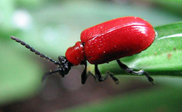 cryocere du lis lys insecte jardin fiche animaux identification