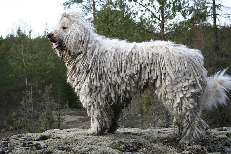 komondor ou kommondor fiche chien animaux animal fact dog caractere comportement origine poil couleur
