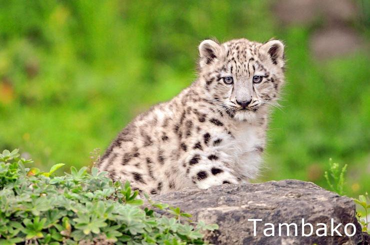 bebe panthere leopard des neiges animaux mignons felins baby cute snow leopard animals
