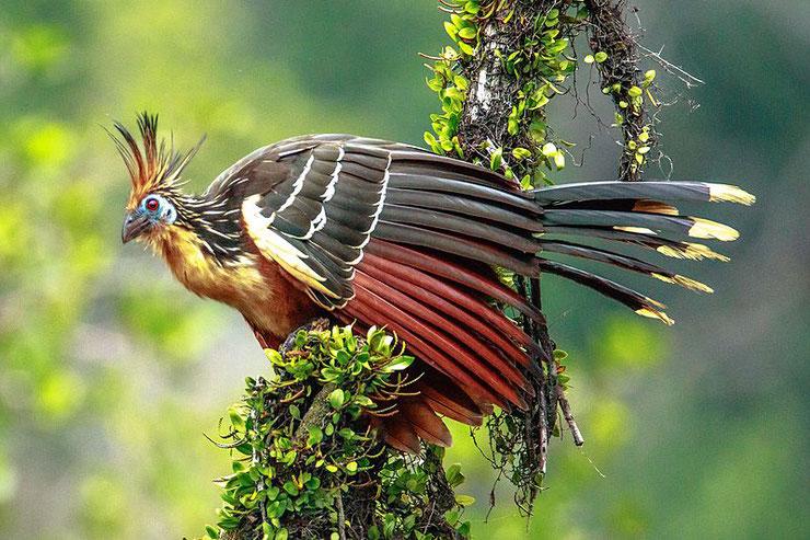 liste des animaux d'amazonie hoazin huppé animal fact bird list amazonian forest