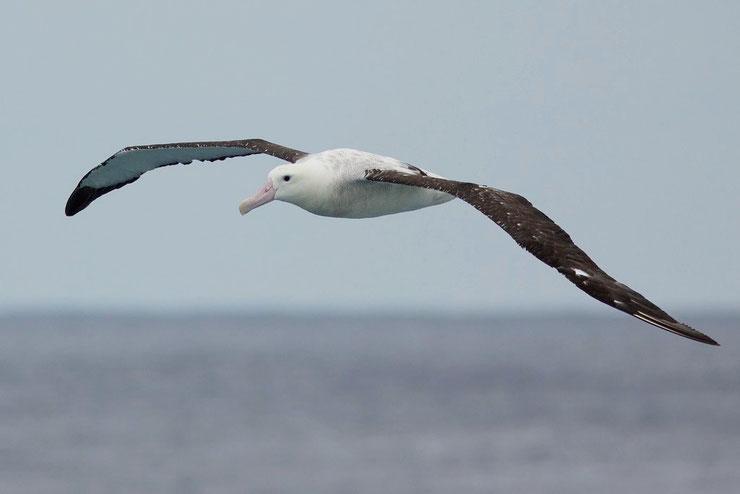 albatros hurleur diomedea exulans fiche oiseaux wandering albatros