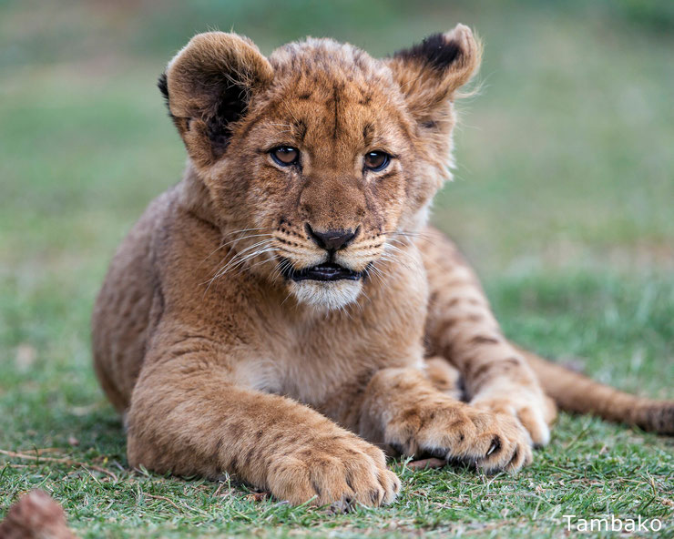 bébé lion lionceaux mignon cute cub animals