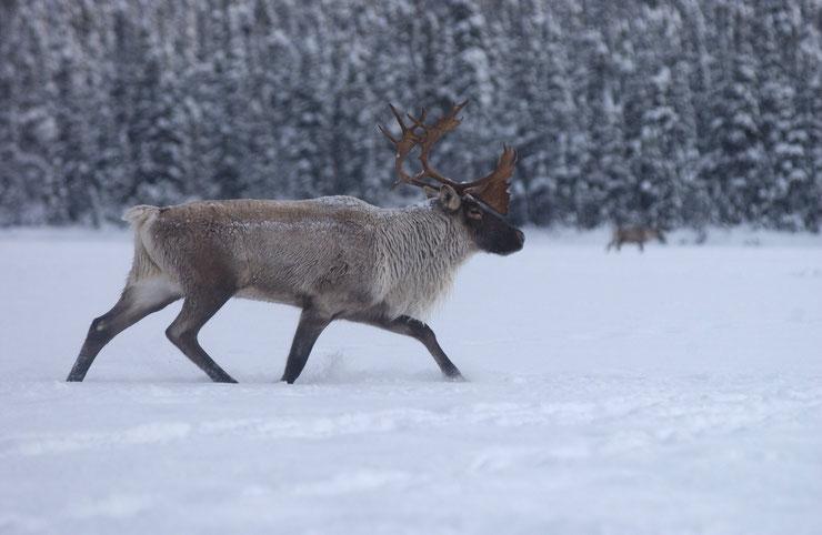 les animaux de la banquise et des cercles polaires pole sud nord arctique antarctique renne caribou