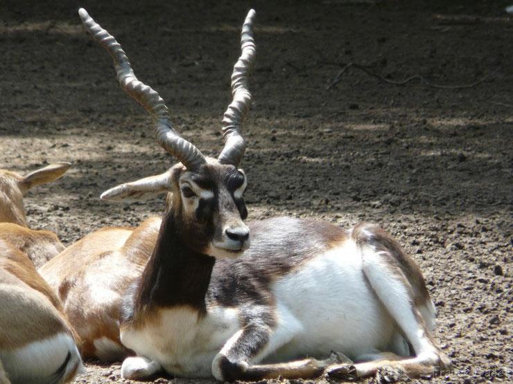antilope cervicapre animaux asie bovides inde nepal banglasdesh