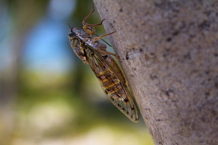cigale commune fiche insectes animaux