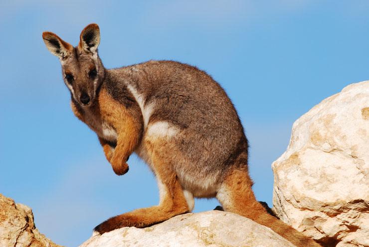 wallaby des rochers a queue annelée fiche
