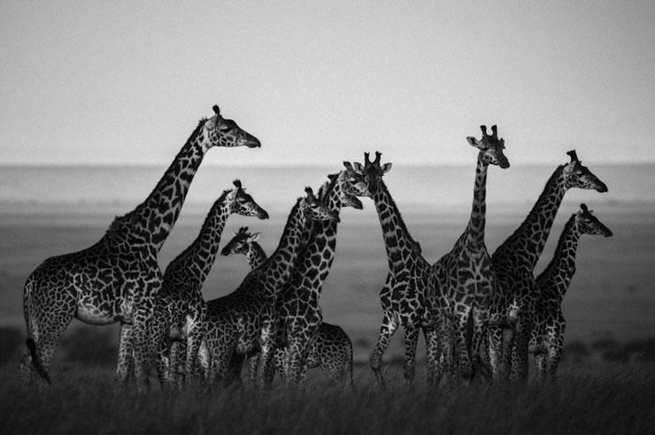 Girafe troupeau noir et blanc laurent baheux