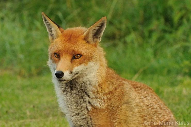 liste des animaux les plus mignons le renard