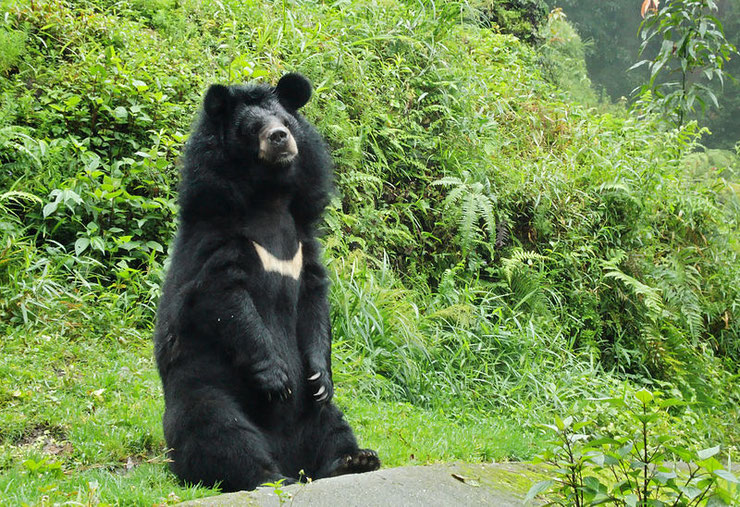 ours a collier ours noir asie fiche animaux animal fact asian black bear