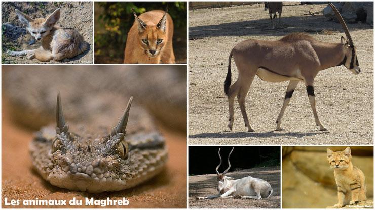 liste des animaux du maghreb algerie tunisie maroc fennec chat des sables dromadaire oryx addax vipere a cornes caracal gazelle