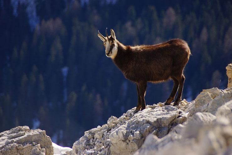 chamois fiche animaux des montagnes animal facts alpine chamois