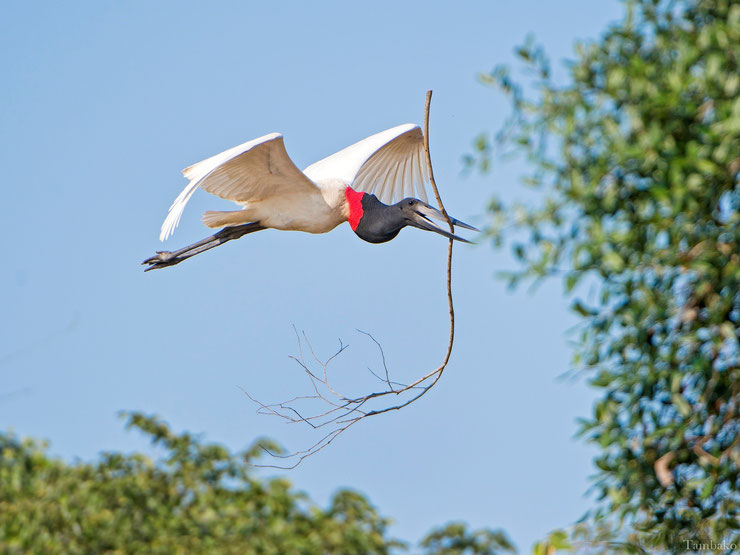 jabiru amerique flying en vol