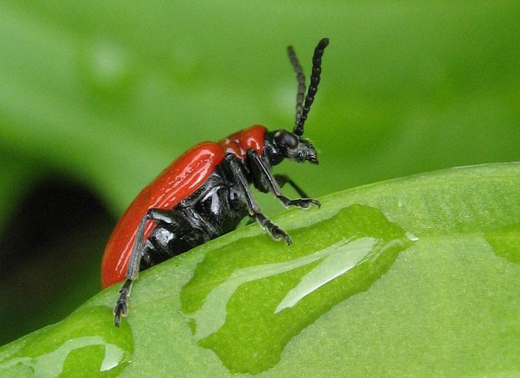criocere du lis insecte jardin fleur fiche animaux  taille poids alimentation reproduction espaces invasives traitement biologique