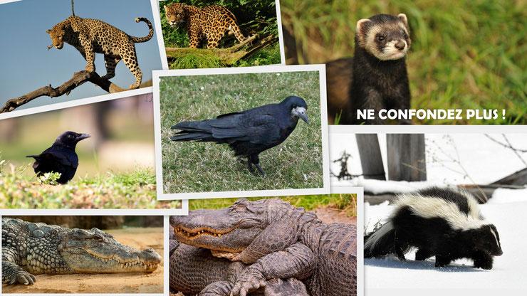 rubrique ne confondez plus ne pas confondre le putois et la mouffette le corbeau et la corneille le caribou et l'orignal le crocodile et l'alligator le lapin de garenne et le lievre la guepe et le frelon la vipere et la couleuvre