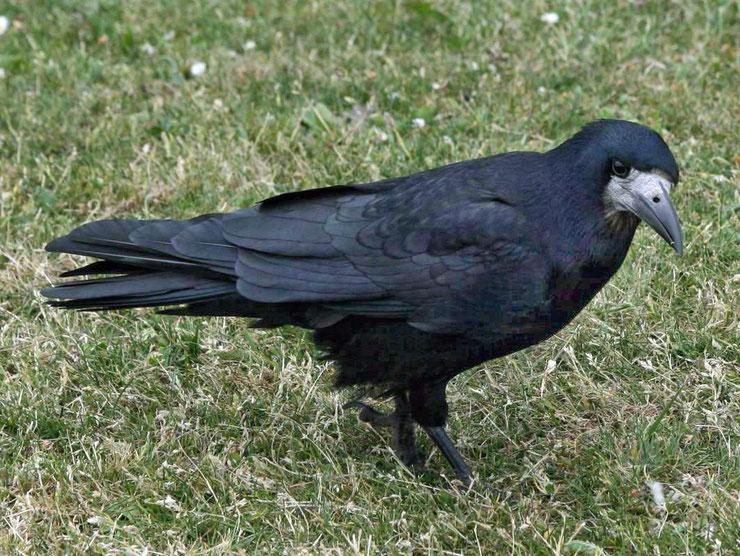 corbeau freux fiche oiseaux animaux