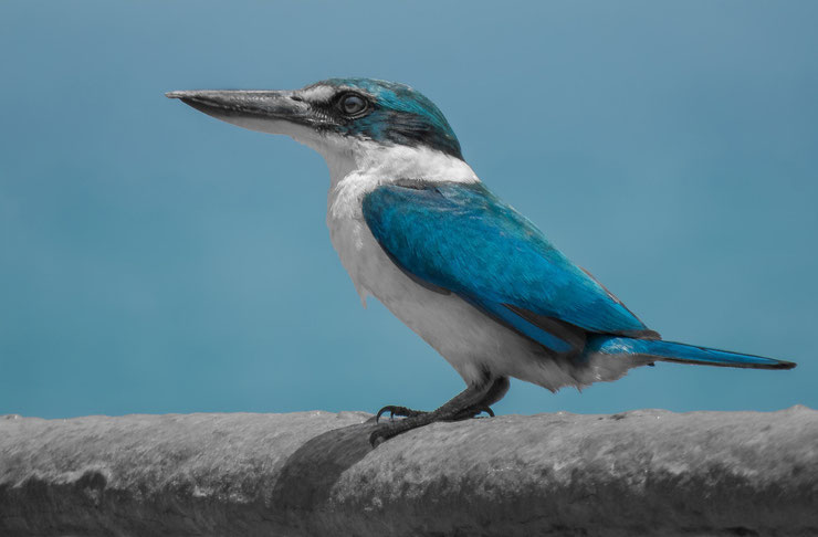 martin chasseur à collier blanc fiche oiseaux animaux animal facts bird collared kingfisher