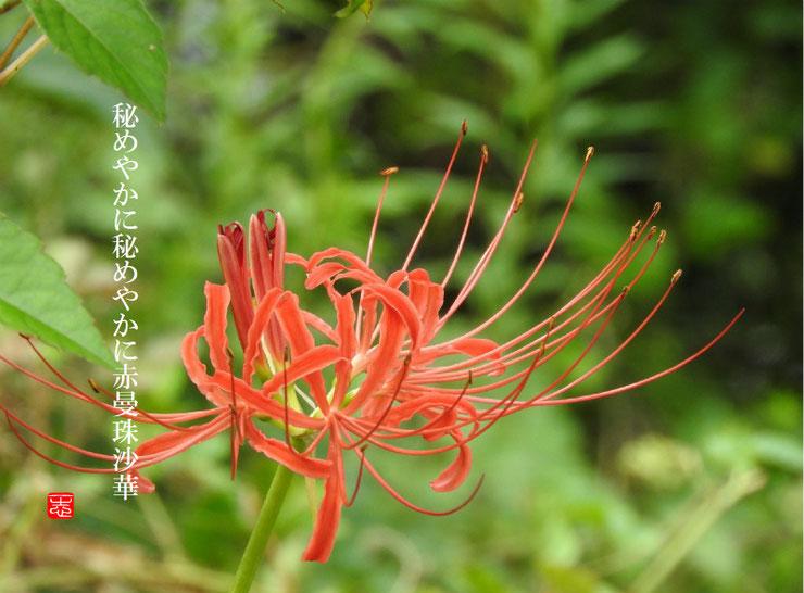 曼珠沙華(まんじゅしゃげ)散策路 2016/09/17作句 撮影