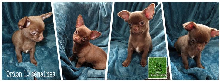 Chiot Chihuahua, Chihuahua chocolat mâle