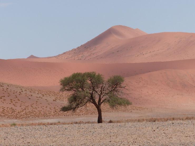 An den Sossusvlei Dünen, bis 300 m hoch, in einem Gebiet von 32.000 km2 (!) Dünenlandschaft