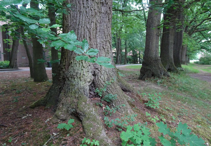 """Alter Waldrand mit über 100-jährigen Eichen - die Bäume sollen einer Fläche zum """"Anpflanzen von Bäumen und Sträuchern"""" weichen!"""